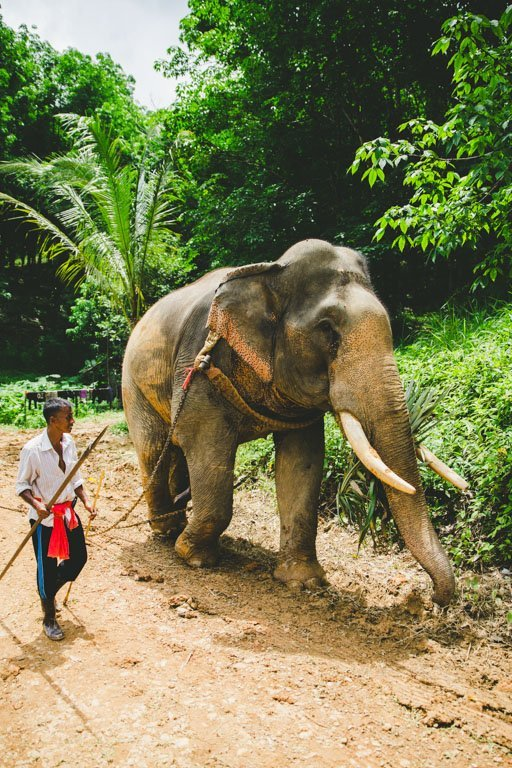 Thai Elephant History Phang Nga Elephant Park