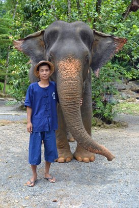 Female ♀ Asian elephant (Elephas maximus) Choosri at Phang Nga Elephant Park