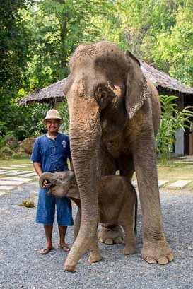 Female ♀ Asian elephant Dao-ruang at Phang Nga Elephant Park