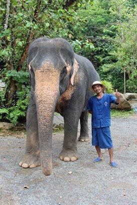 Female ♀ Asian elephant (Elephas maximus) Luk Doi at Phang Nga Elephant Park