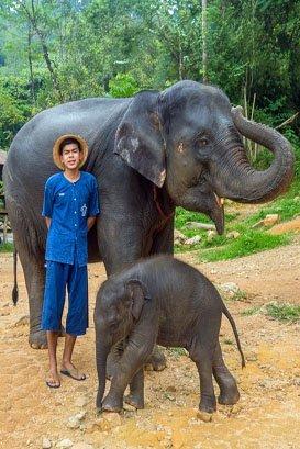 Female ♀ Asian elephant (Elephas maximus) Tangthai at Phang Nga Elephant Park